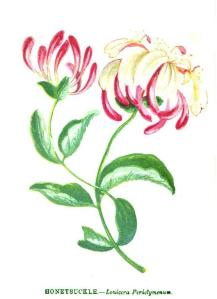 1852-Wild_Flowers_Vol_1-Anne_Pratt-Honeysuckle-Lonicera_Perictymmum