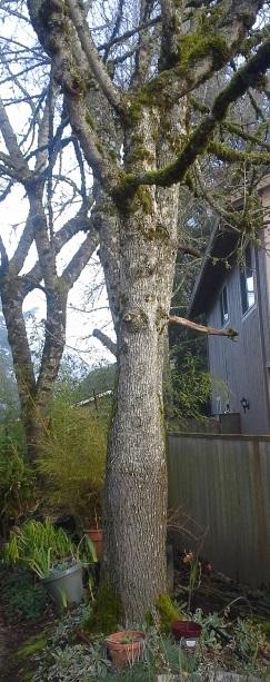 My climbing tree.