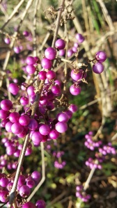 Close up on the Beauty Berry