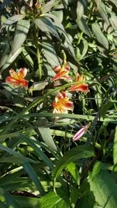 Alstroemeria 'Indian Summer' Still holding on despite the cold.