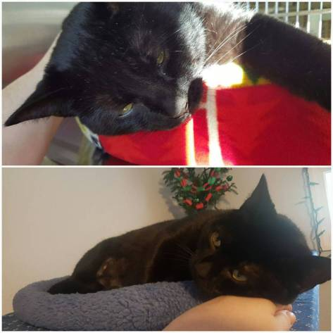 Top: Midnight Monster cat when I was deciding I was going to adopt him. Bottom: Midnight Monster today, between fits of demanding play time.