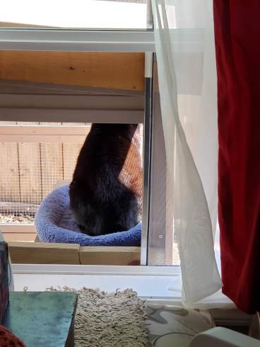 Picture of a window, a black cat sits on a blue cat bed that is located on a wooden perch just outside the window, contained within a screened in cage.