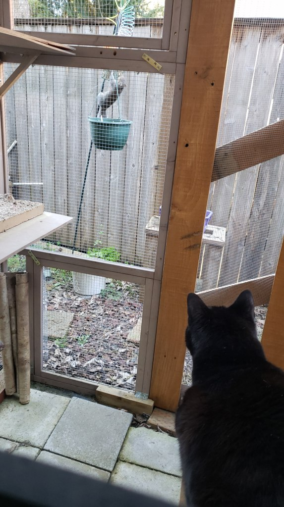 The back of a black cat, looking out the screen wall of a catio at a grey squirrel who is climbing up a plant hanger.